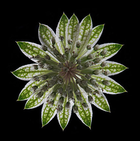 Pin cushion flower Astrantia a focus stack taken with dark field illumination showing outer ring of bracts and many tiny flowers inside
