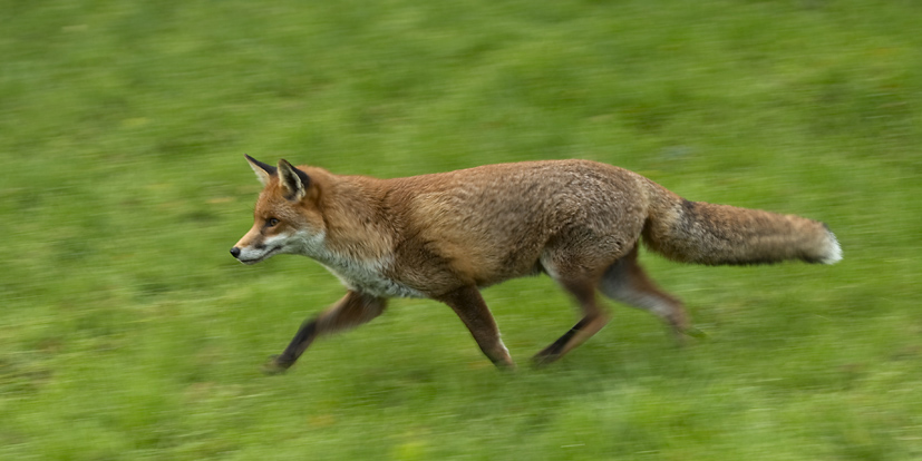 Panned shot of a fox at the British Wildlife Centre