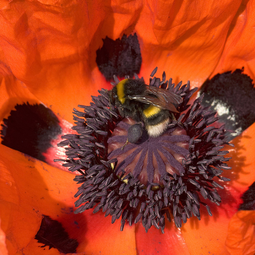 Bumblebee with dark blue and a plum hue pollen load foraging on oriental poppy, Papaver orientale