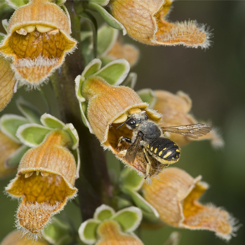 As female wool carder bee enters Digitalis ferruginea she gets a pollen load on her head