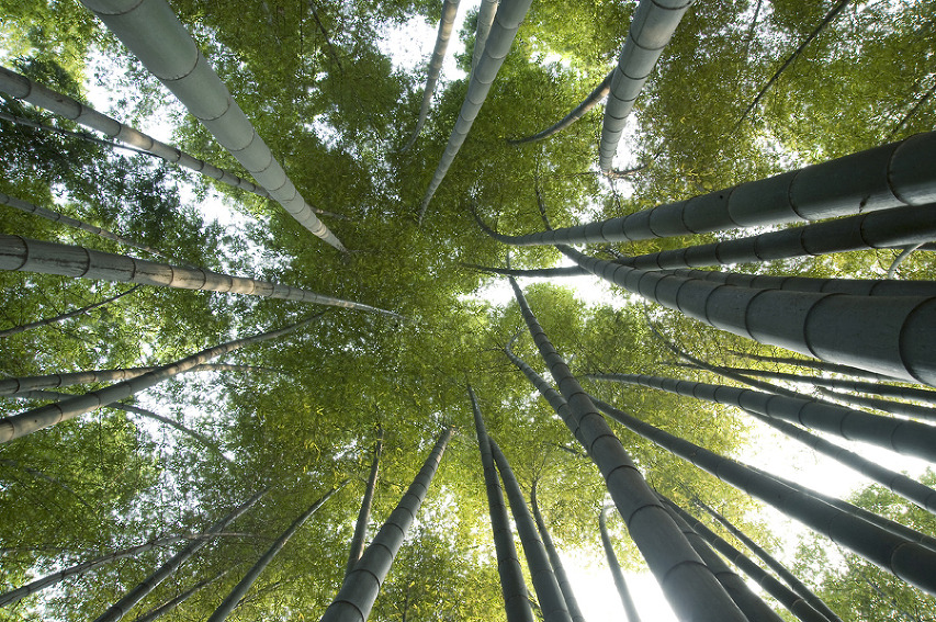 A skyward view into a moso bamboo canopy in South Sichuan Bamboo Sea, China