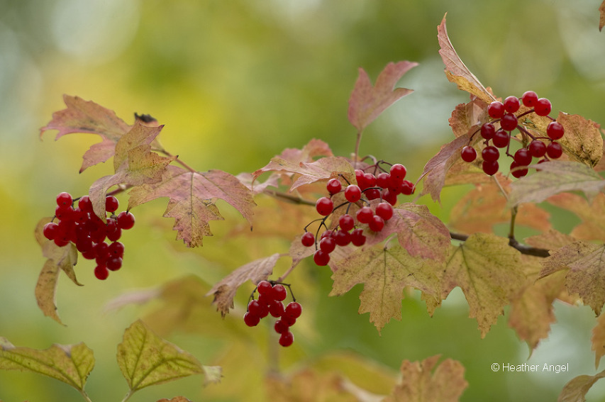 Bright red fruits of guelder rose stand out against their leaves beginning to turn colour