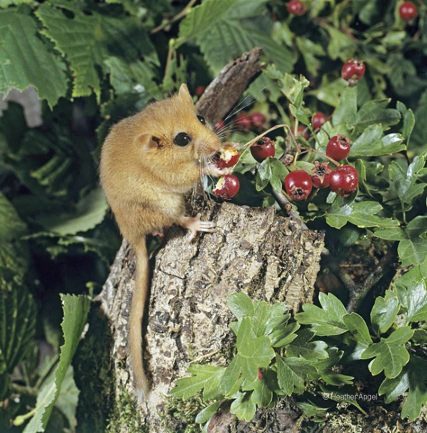 A captive dormouse emerges at night to feed on hawthorn berries