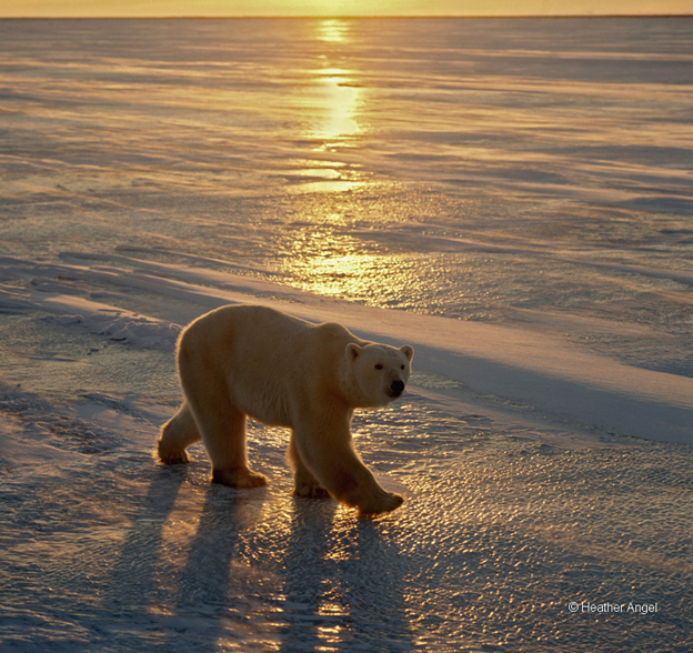 A rimlit polar bear (Ursus maritimus) walks on ice at sunset, Cape Churchill, Canada