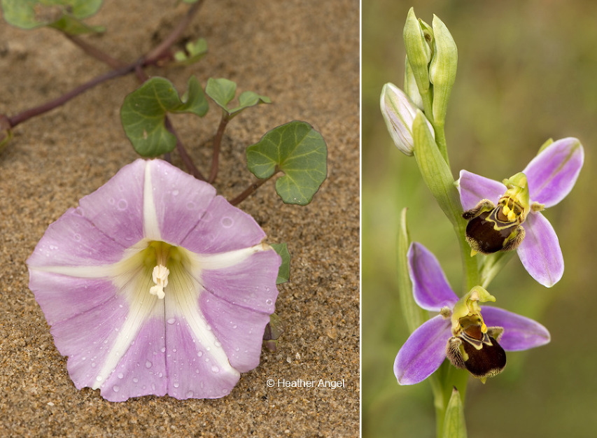 Left: Sea bindweed, (Calystegia soldanella) after rain. Right: Bee orchid (Ophrys apifera).