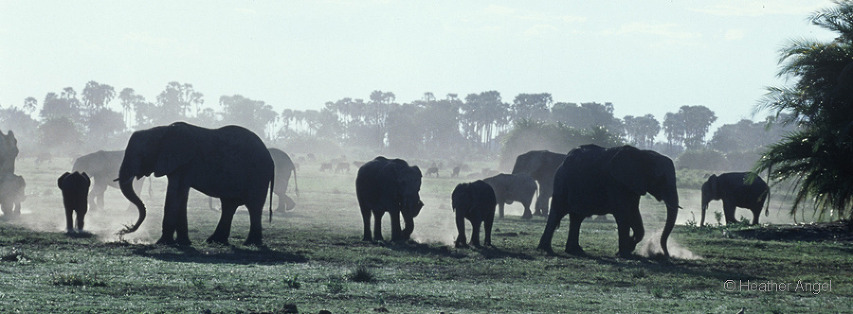 African elephant ( Loxodonta africana) herd kicking up dust as they feed late in the day, Okavango Delta, Botswana