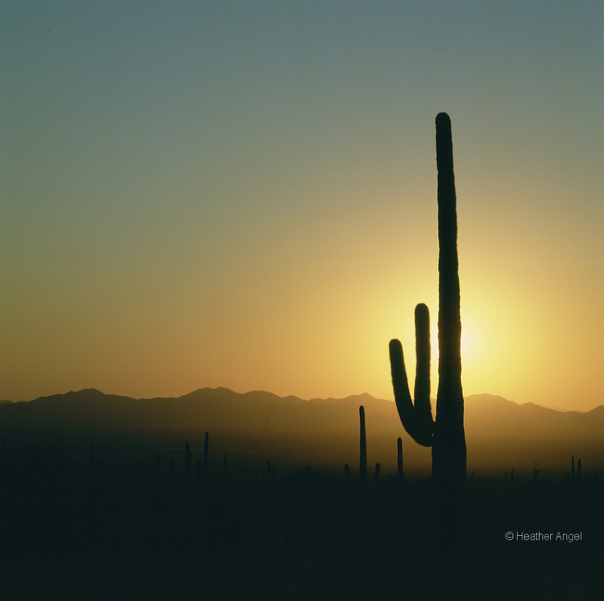 A saguaro cactus (Cereus giganteus) blocks out the bright sun in Arizona