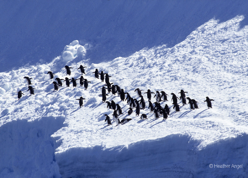Consider composition Shadows frame adelie penguins on snow