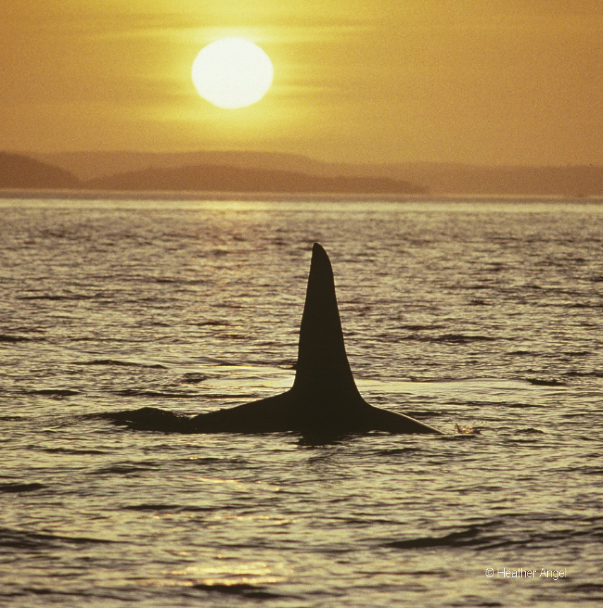 Killer whale silhouette Canada