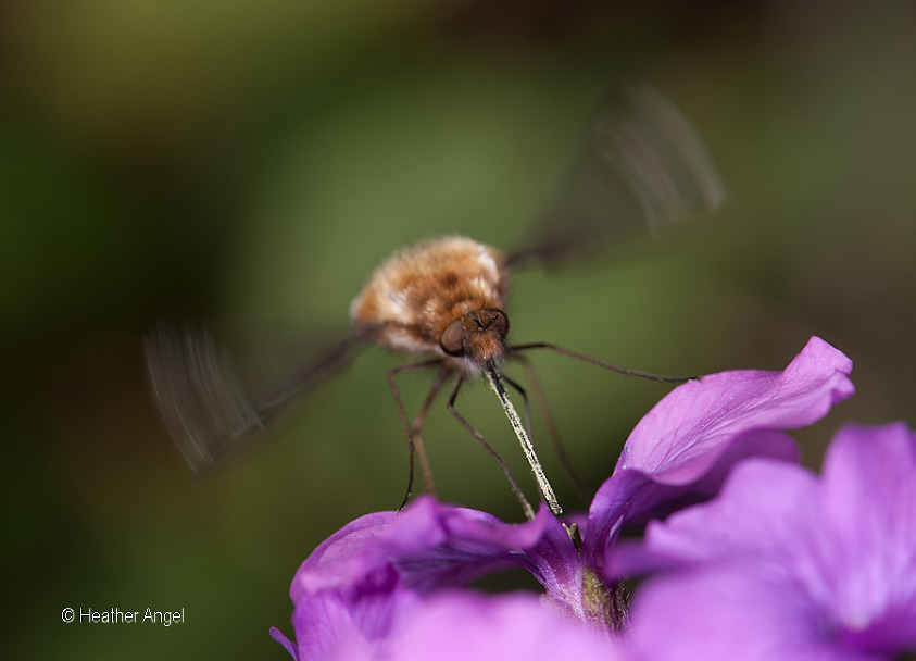 Bee fly feeds on honesty