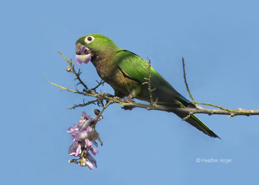 Aztec parakeet eats mother of cocoa flower Mexico