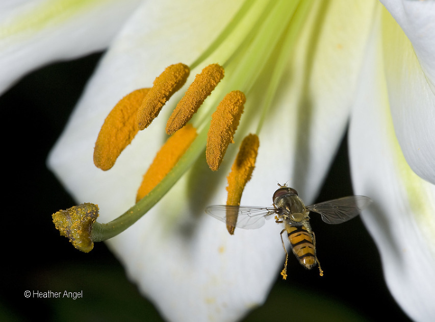 A hoverfly carries pollen on feet to lily