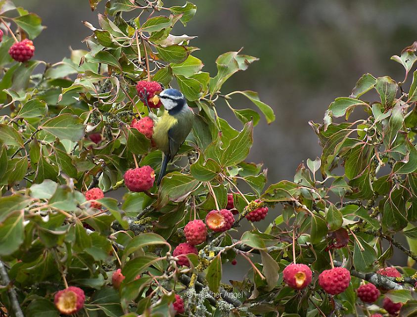 Blue tit feeding Cornus fruit