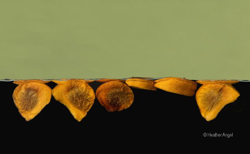 Iris seeds float on water