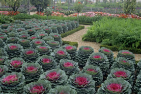 ornamental cabbages add winter colour