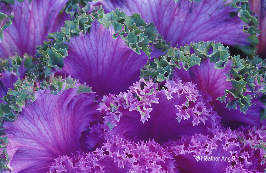 ornamental cabbage textured leaf
